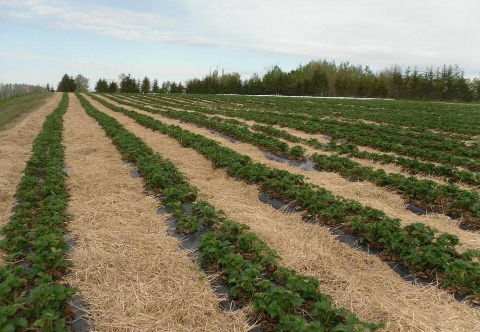 ferme st-elie champs de fraise